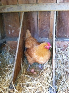 One of our Buff Orpingtons in the nesting box.
