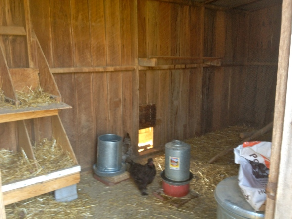 The inside coop, where we keep their feeders/waterers, roosting area and 8 nesting boxes.