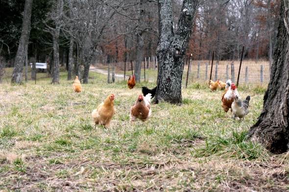 chicken flock running