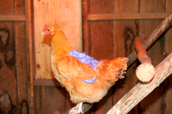 buff orpington with chicken apron on.