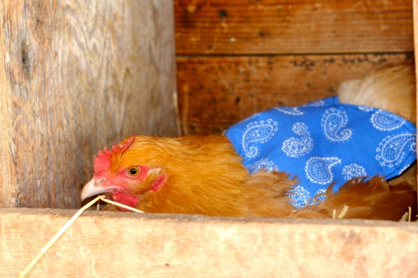 Buff orpington wearing a protective chicken saddle