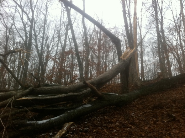 This is the dead oak that fell in the storm.