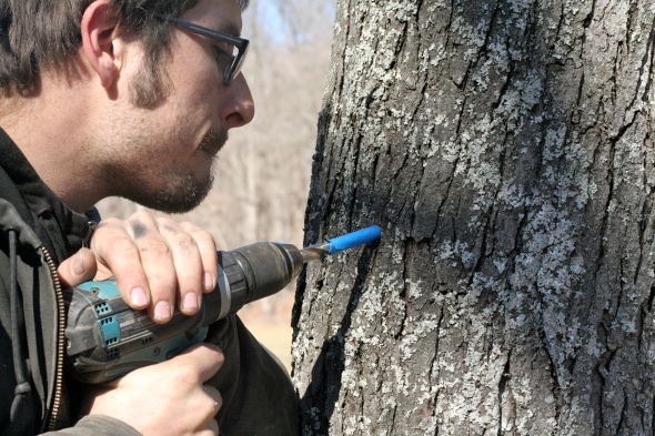 tapping maple trees for homemade syrup