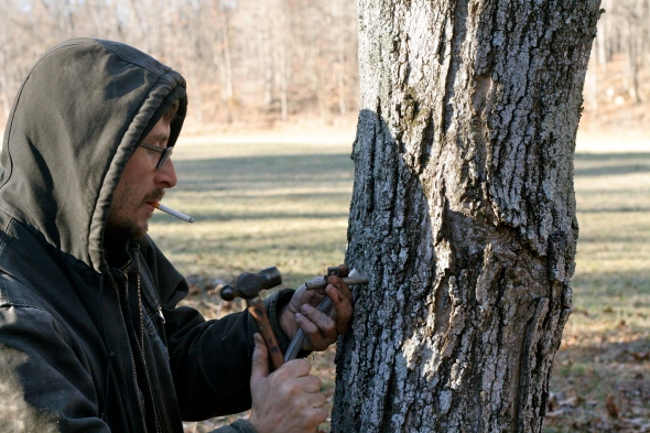 Tapping maple trees for sap to make homemade syrup