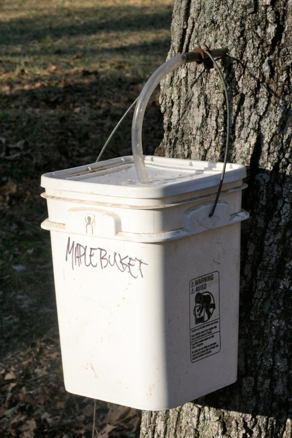 equipment needed to tap a maple tree for sap to make homemade syrup