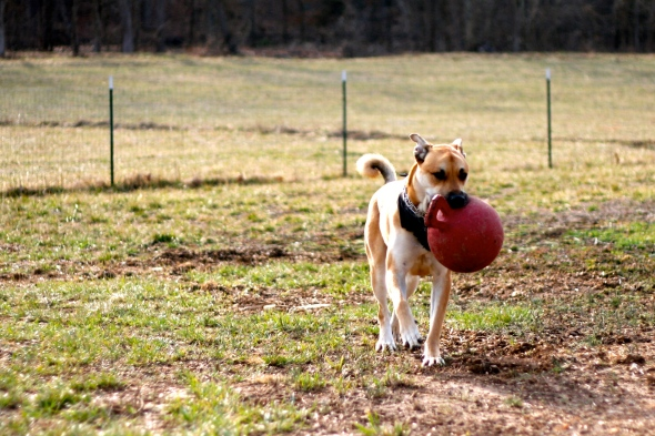 This is Cadillac's only outside toy that he hasn't destroyed. And it's a Jolly Ball, made for horses.