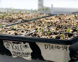 kale seedlings in the greenhouse