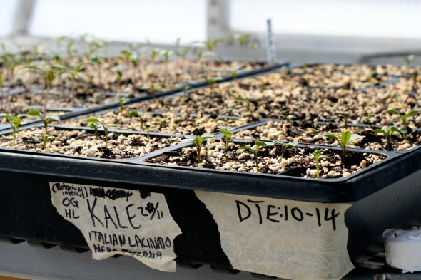 kale seedlings in the greenhouse