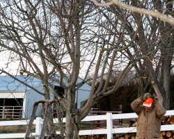 pruning apple trees in the late winter
