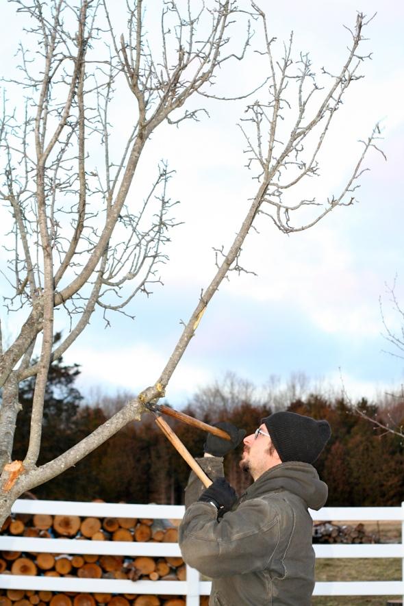 apple tree pruning in late winter