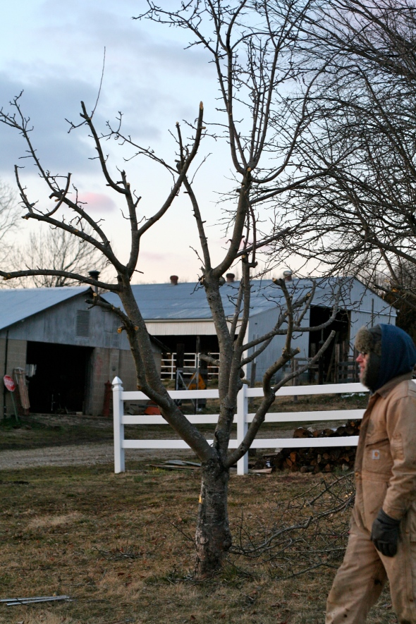 pruning apple trees in the winter