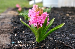 blooming hyacinth