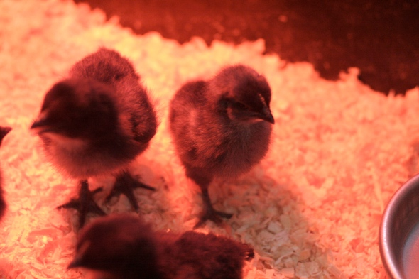 Here's our first batch of marans chicks