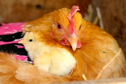 broody hen hatching chicks