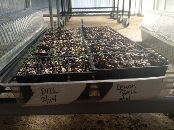 germinating herbs in the greenhouse