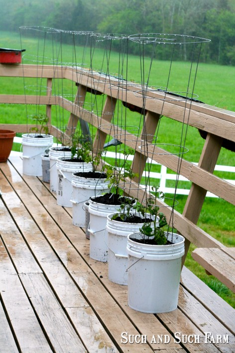 planting tomatoes and peppers in containers