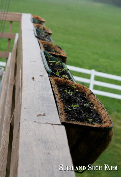 Freshly transplanted herbs off the porch railing