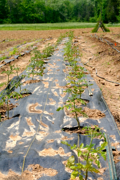 One of our tomato rows. We have one row of slicing/heirloom varieties, and another row of cherry/roma varieties.