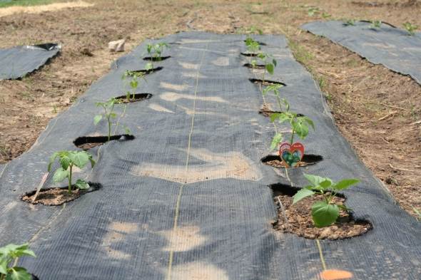 Tomatillos! Ground cherries will go in this bed too as soon as they get their act together