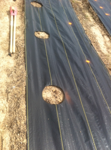 The lines on the weed cloth make it easier to have evenly spaced rows within the bed