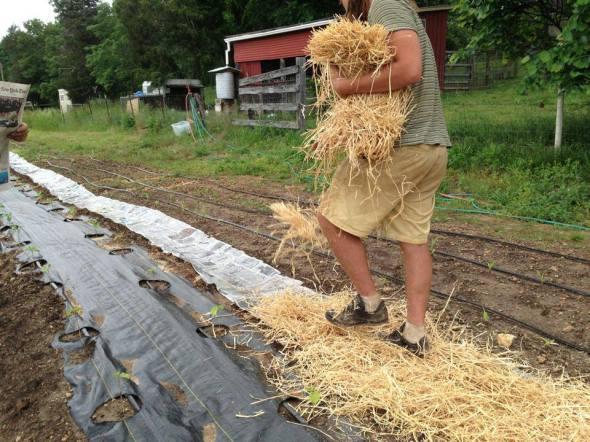 newspaper and straw mulch in garden