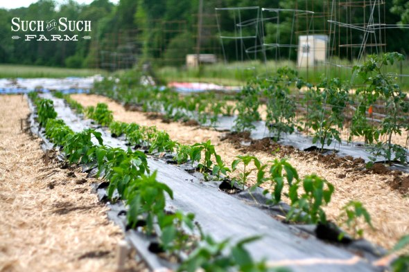 Peppers and tomato rows