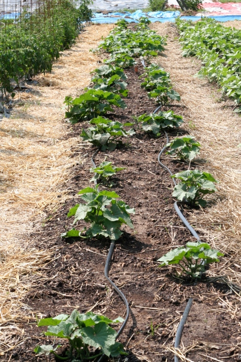 Cucumber row, a combination of slicing and pickling varieties.