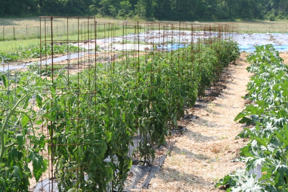 One of our two tomato rows