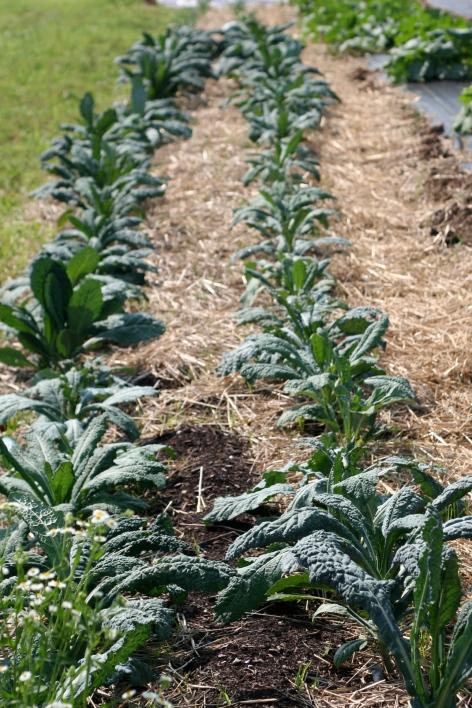 Kale and leek row