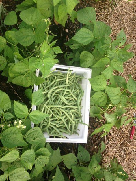 First bush bean harvest of the season is underway!