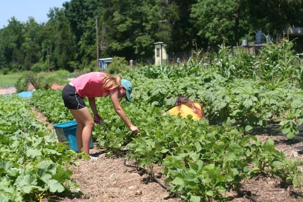 Cia and Maddie harvesting bush beans