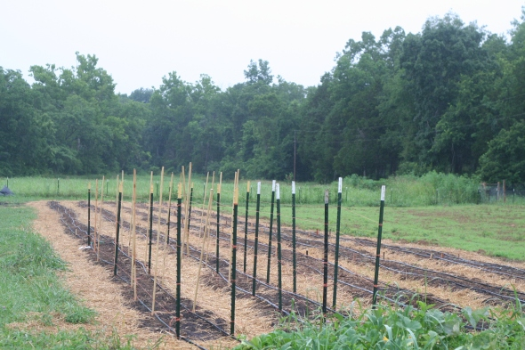 The new fall garden section! The T-posts trellises are for our sugar snap and snow peas