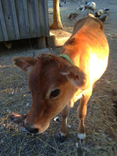 Here's Chopping Block Farms' Jersey baby... I love her.