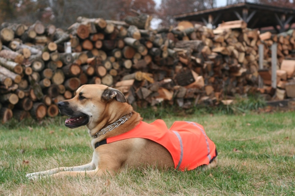 dog in safety orange vest for hunting season
