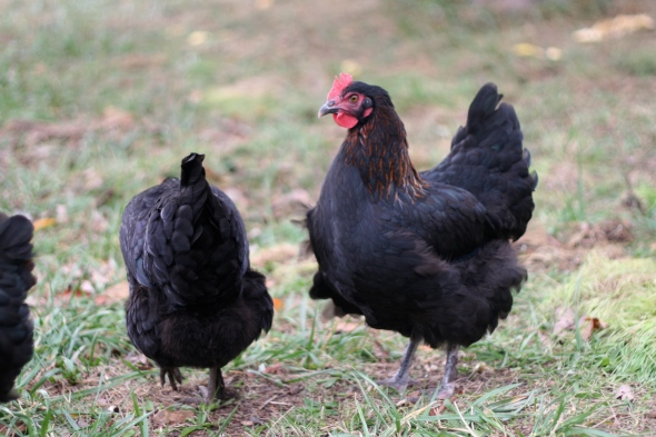 Some of our BCM (Black Copper Marans) girls.
