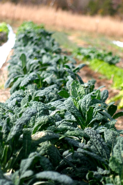 Lacinato and Tuscano kale is growing great for us this fall. Very tender and resilient.